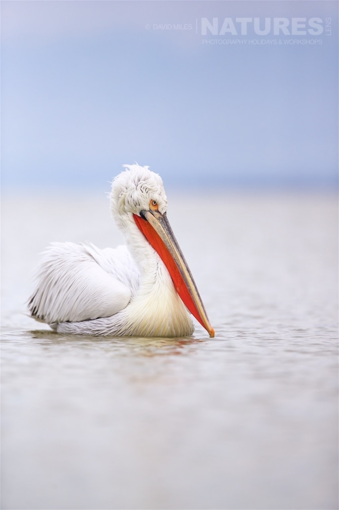 The focal point of the pelican is often the eye, staring out from underneath the messy hairdo - photographed on the NaturesLens Dalmatian Pelicans of Lake Kerkini wildlife photography holiday