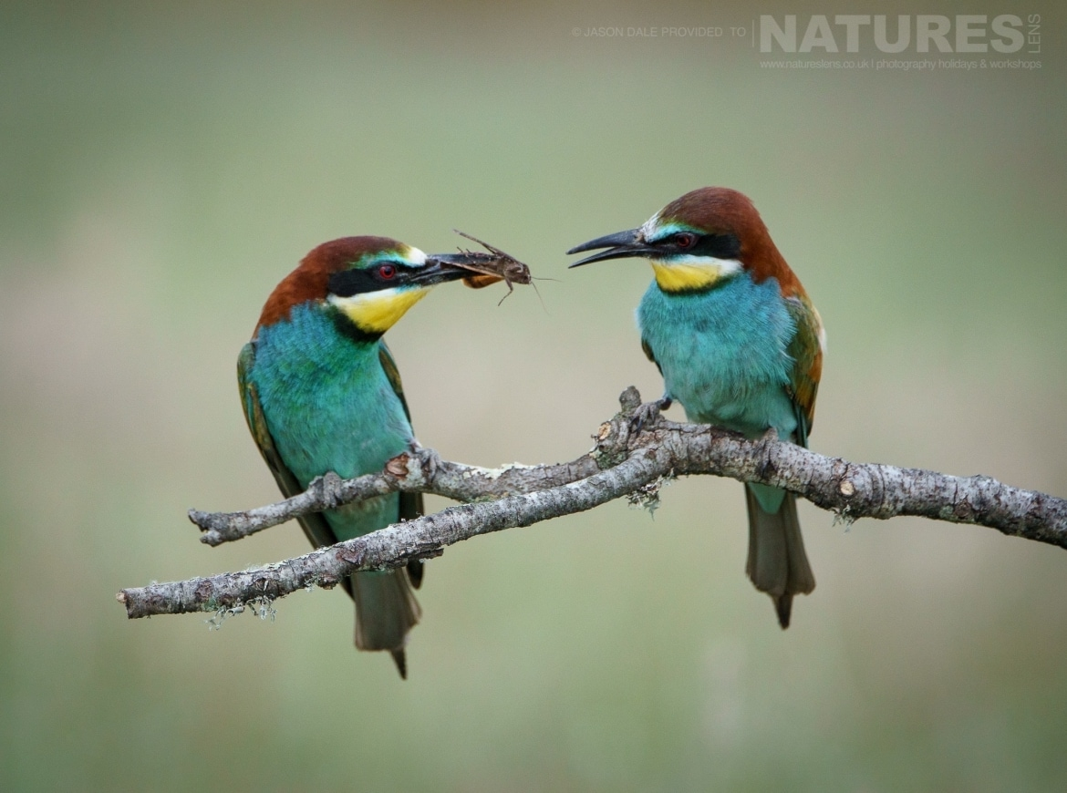 a male bee eater delicately passes a freshly caught insect to a female of the species photographed on a natureslens photography holiday to spain