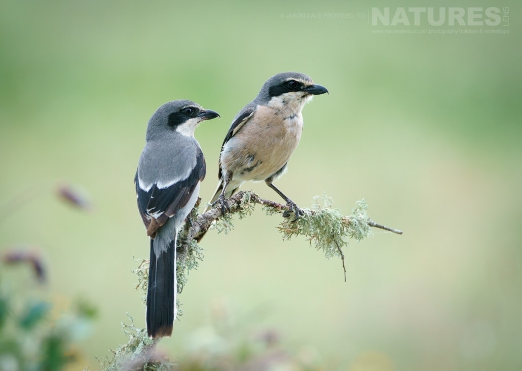 A pair of perched shrike - photographed on a NaturesLens Photography Holiday to Spain to photograph the birds of the Spanish plains