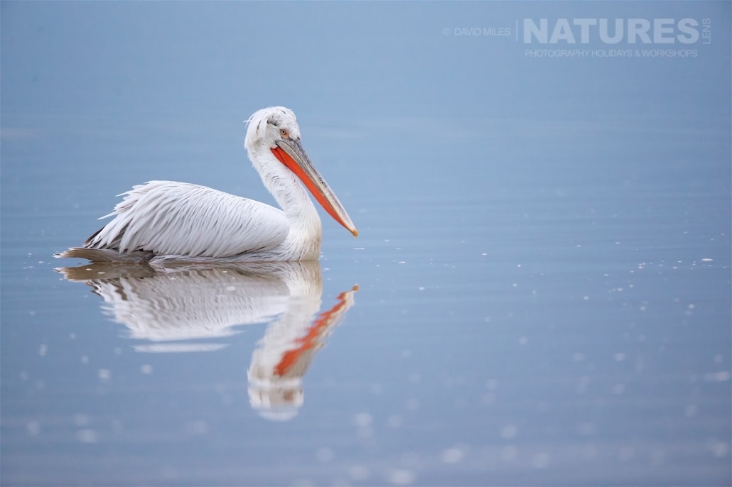 A ripple in the surface of Lake Kerkini's water disrupts the relection of one of the Dalamatian Pelicans as it drifts serenely on the surface of the lake - photographed on the NaturesLens Dalmatian Pelicans of Lake Kerkini wildlife photography holiday