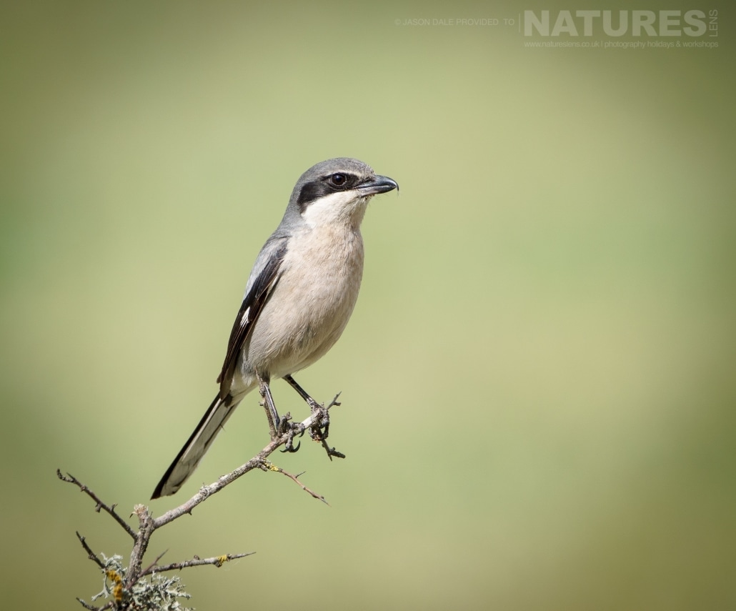 A shrike perched on the Spanish plains - photographed on a NaturesLens Photography Holiday to Spain to photograph the birds of the Spanish plains