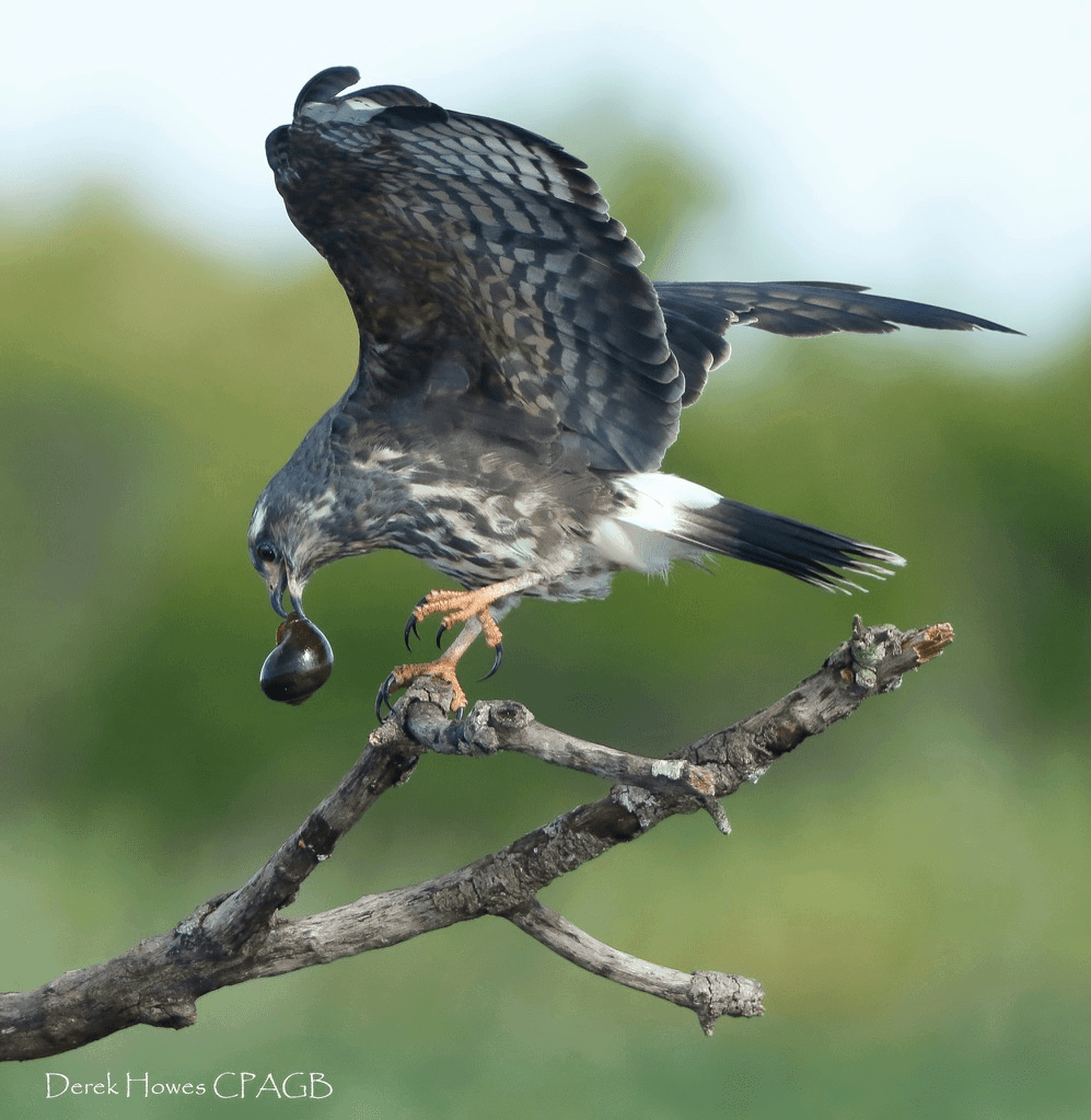 A snail kite lands with a freshly caught snail, these are very rare birds but a small colony exists on some Floridian lakes - photographed on the NaturesLens Osprey Photography Holiday conducted in Florida during April 2016