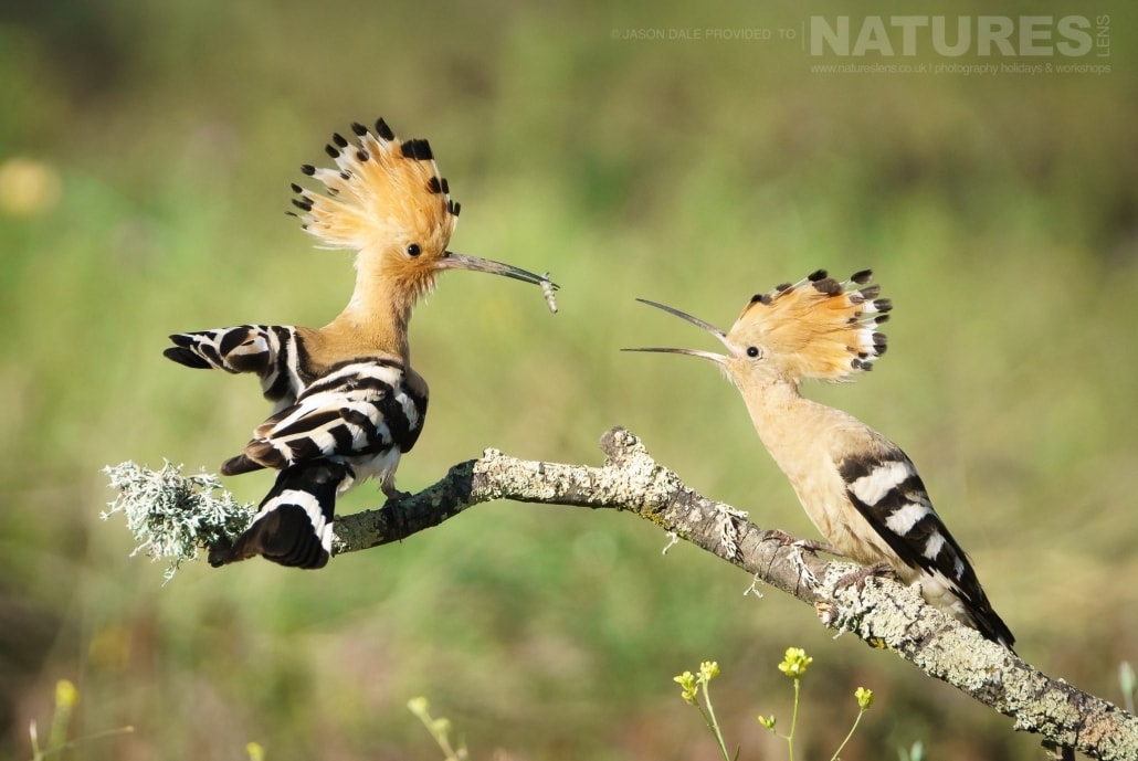 An adult hoopoe feeds one of it's young hacthed earlier this year - photographed on a NaturesLens Photography Holiday to Spain to photograph the birds of the Spanish plains