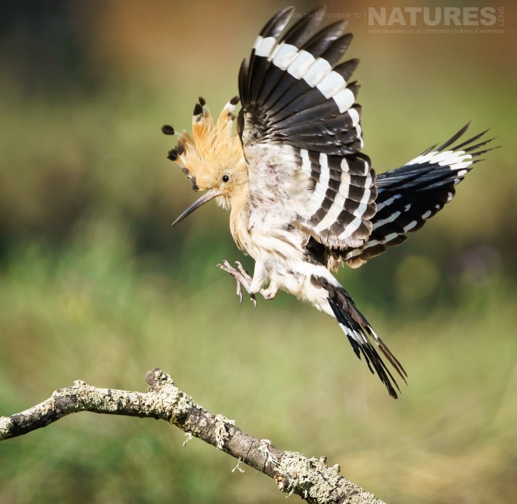 An adult hoopoe lands on a perch in the olive grove where the pair have brought up their young - photographed on a NaturesLens Photography Holiday to Spain to photograph the birds of the Spanish plains
