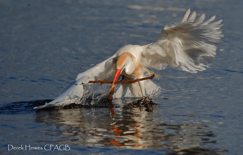 An egret retrieves a piece of nesting material floating on the surface of the lake near the Floridian rookeries - photographed on the NaturesLens Osprey Photography Holiday conducted in Florida during April 2016