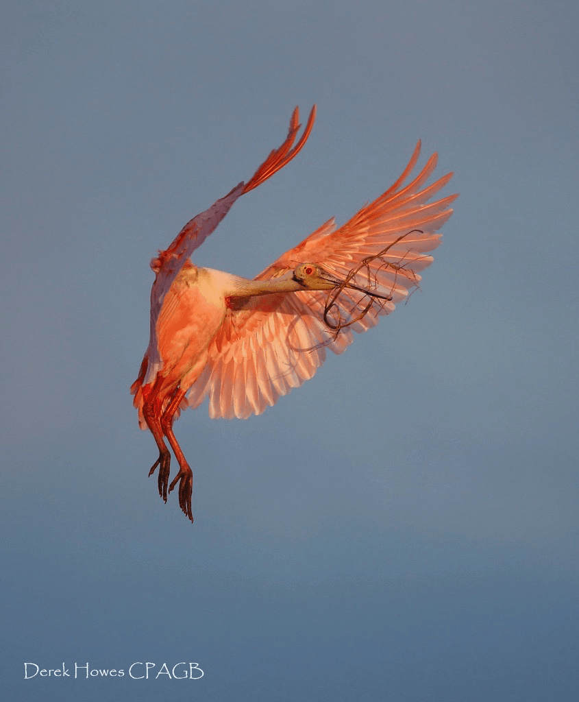 In addition to ospreys, roseate spoonbills were easy to locate, such as this one with nesting material captured in the setting sun - photographed on the NaturesLens Osprey Photography Holiday conducted in Florida during April 2016