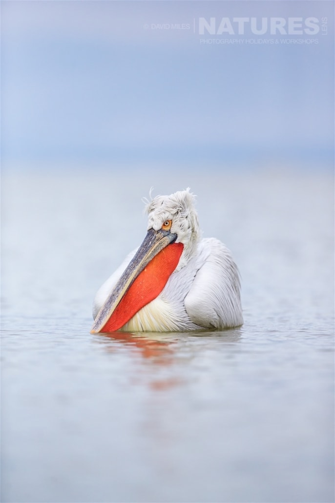 In full breeding plummage with their pouch a vibrant orange the dalmatian pelicans make for an entrancing photographic subject photographed on one of the NaturesLens Dalmatian Pelican photography holidays