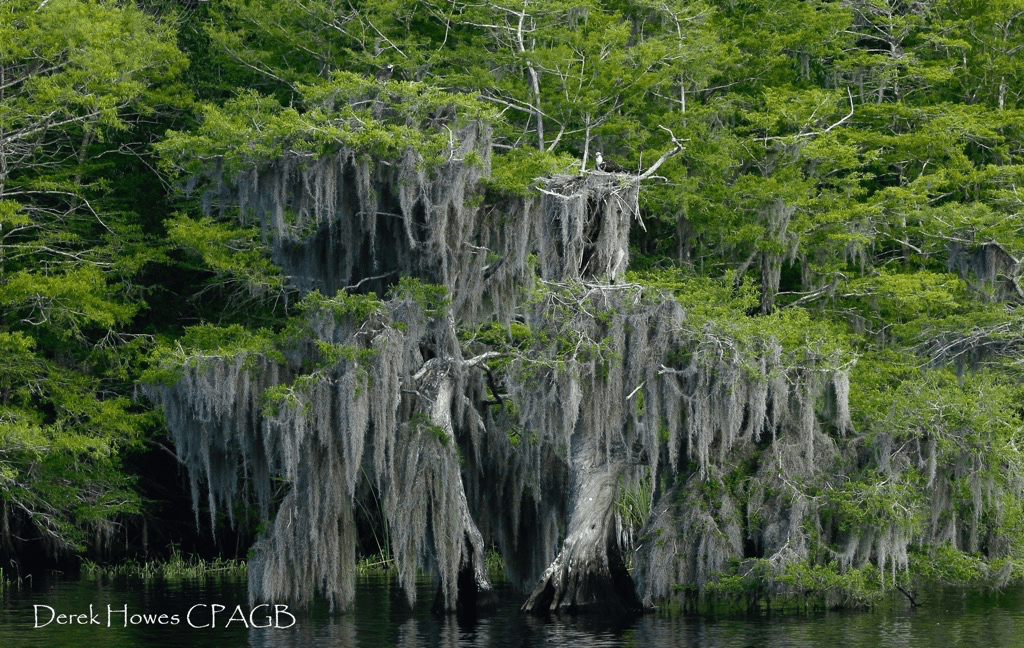 The famous cypress trees in which the ospreys make their nests - literally every other tree contained an osprey nest - photographed on the NaturesLens Osprey Photography Holiday conducted in Florida during April 2016