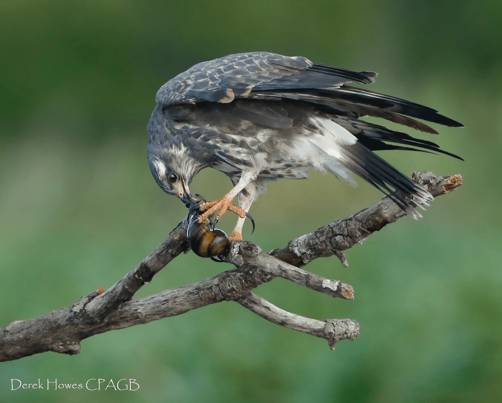 The fate of the snail that has been plucked from the lake by one of the snail kites is to be extracted from it's shell & consumed - photographed on the NaturesLens Osprey Photography Holiday conducted in Florida during April 2016