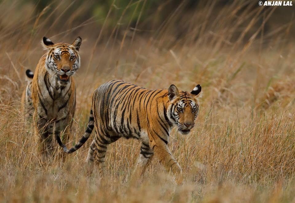 The Rajbehera female with her male cub - the future new king soon to rule his kingdom at Bandhvgarh - photographed by Anjan Lal - join NaturesLens in April 2017 on a wildlife photography holiday to Bandhavgarh