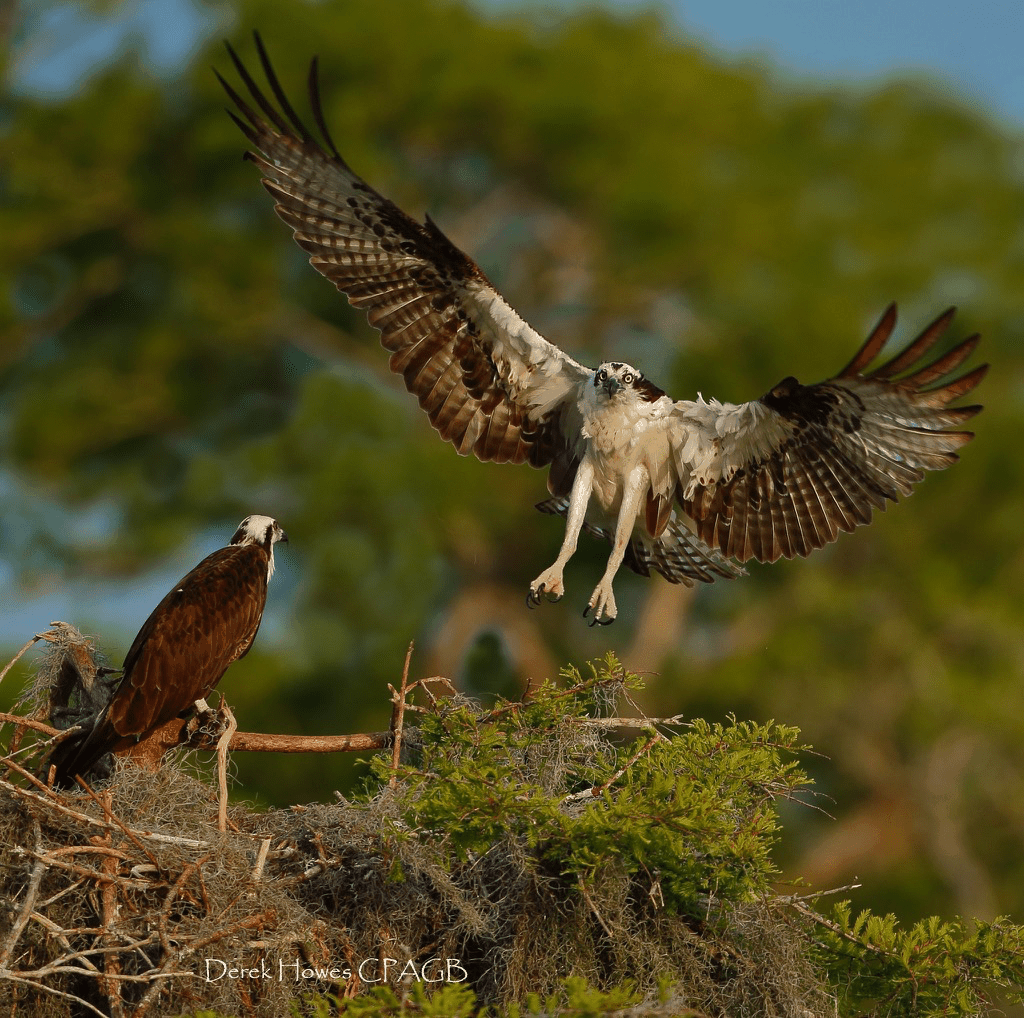 Wings fully spread, an osprey comes in to land at the nest - most nests are at eye level or just above - meaning photography is engaging - photographed on the NaturesLens Osprey Photography Holiday conducted in Florida during April 2016