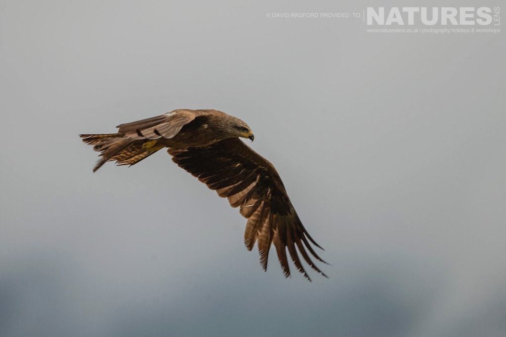 A black kite circles the carrion site seeking out meat amongst the cacaphony of birds beneath - photographed on the NaturesLens Birds of the Spanish Plains Photography Holiday