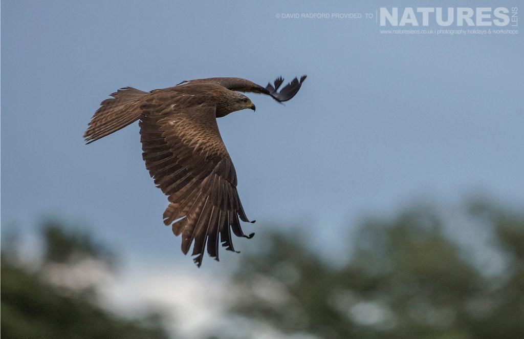A black kite soars above the feeding frenzy of the carrion hide site - photographed on the NaturesLens Birds of the Spanish Plains Photography Holiday