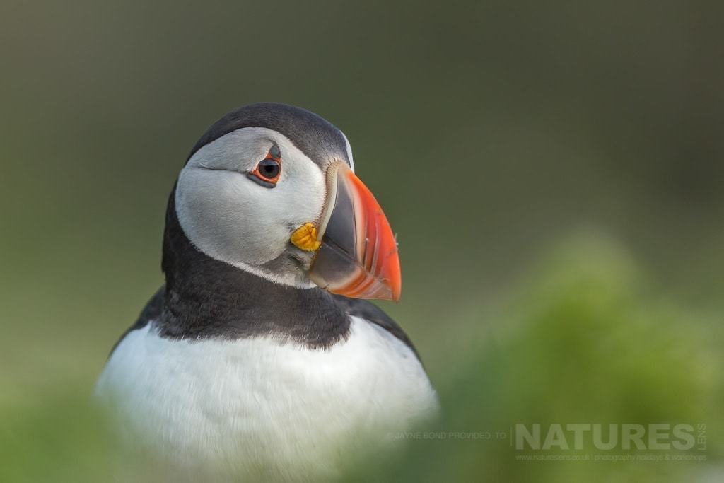 A classic portrait of one of Skomer's puffins - photographed during the NaturesLens Skomer Island's Puffins Photography Holiday