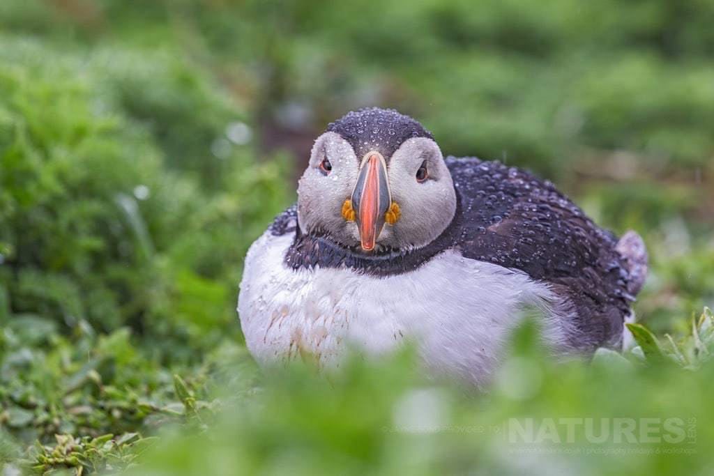 A drenched puffin not looking amused at the weather ... or was it being photographed - photographed during the NaturesLens Skomer's Puffins Photography Holiday