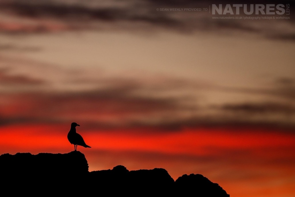 A gull, just one of the many times of sea bird to be found on Skomer Island, silhouetted against the evening sky - an example of the type of creative Puffin images that may be captured at the end of the day on Skomer Island