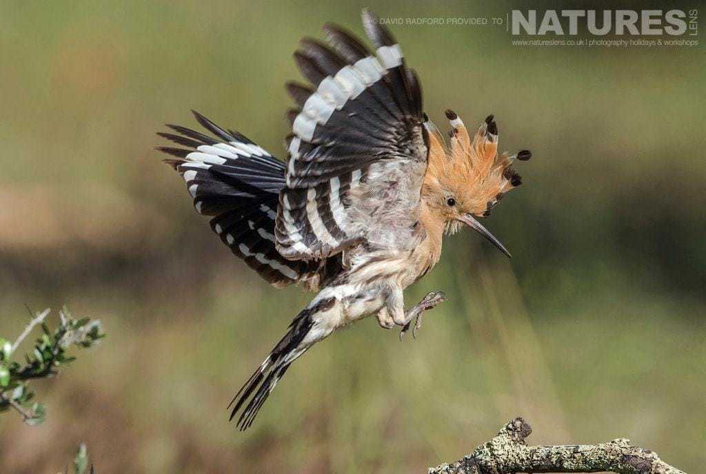 A hoopoe comes in to land, showing off the crest which is the trademark feature of these birds - photographed on the NaturesLens Birds of the Spanish Plains Photography Holiday