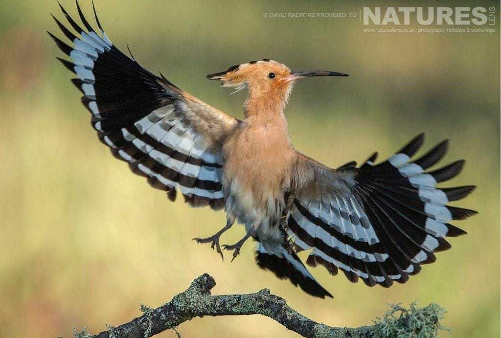 A hoopoe delicately comes in to land, showing off it's amazing wing feathers - photographed on the NaturesLens Birds of the Spanish Plains Photography Holiday