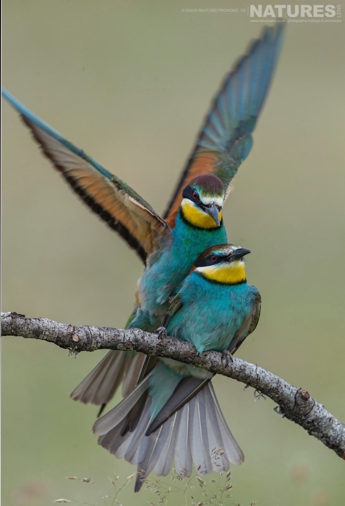 A pair of bee-eaters mating amongst the grass & wild flowers of the Spanish plains - photographed on the NaturesLens Birds of the Spanish Plains Photography Holiday