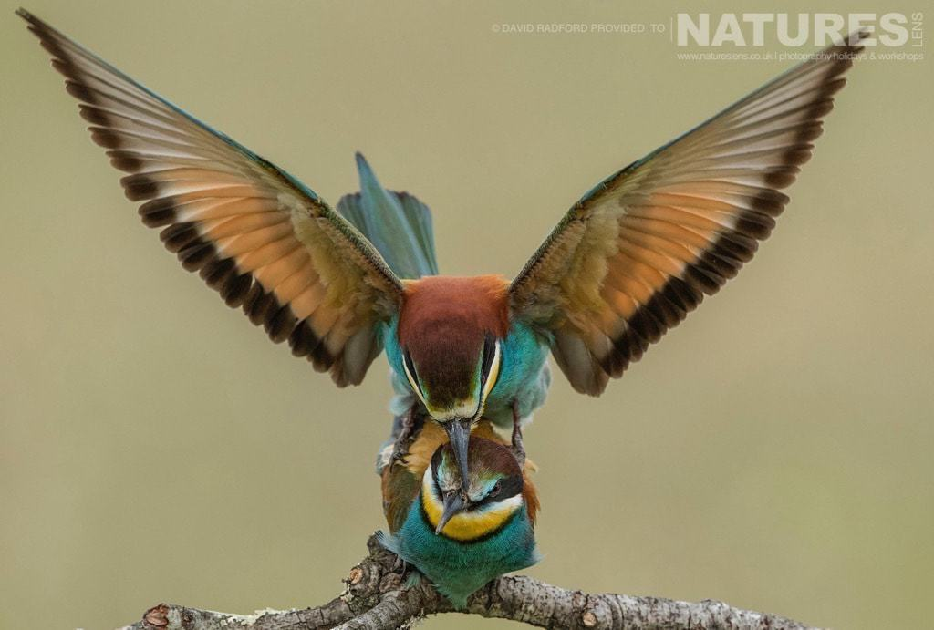 A pair of bee-eaters mating on the Spanish plains - photographed on the NaturesLens Birds of the Spanish Plains Photography Holiday