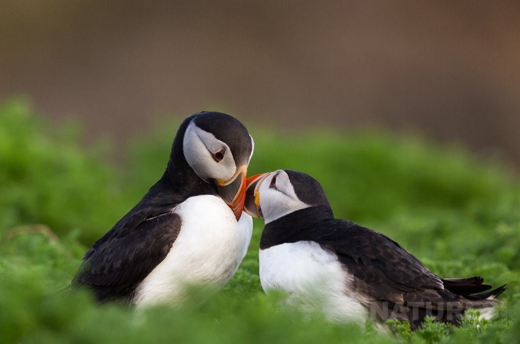 A pair of courting Atlantic Puffins - photographed during the NaturesLens Skomer's Puffins Photography Holiday