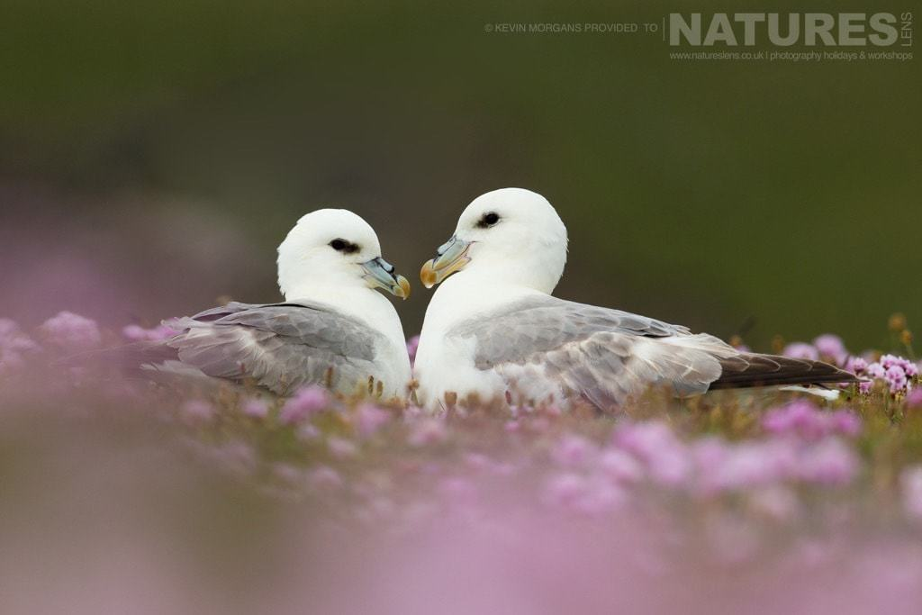 A pair of fulmar sitting amongst the thrift in the reserve near Sumburgh Head on Shetland- photographed on the NaturesLens Puffins of Fair Isle Photographic Holiday