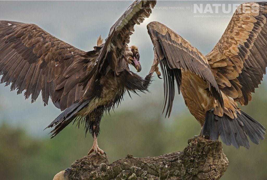 A pair of vultures scuffle above the feeding frenzy below - photographed on the NaturesLens Birds of the Spanish Plains Photography Holiday