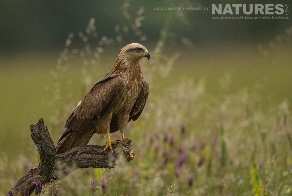 A perched black kite amongst the grass wild flowers of the Spanish plains photographed on the NaturesLens Birds of Calera Photography Holiday