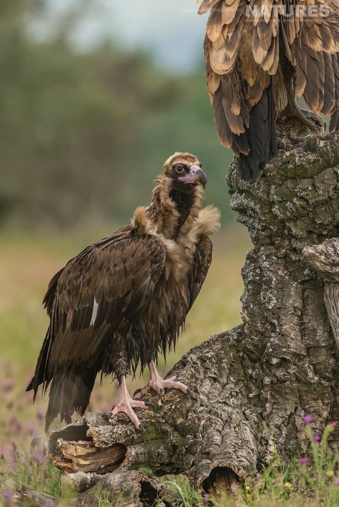 A posing vulture contemplates entering the fray for food in the centre of the carrion hide site - photographed on the NaturesLens Birds of the Spanish Plains Photography Holiday