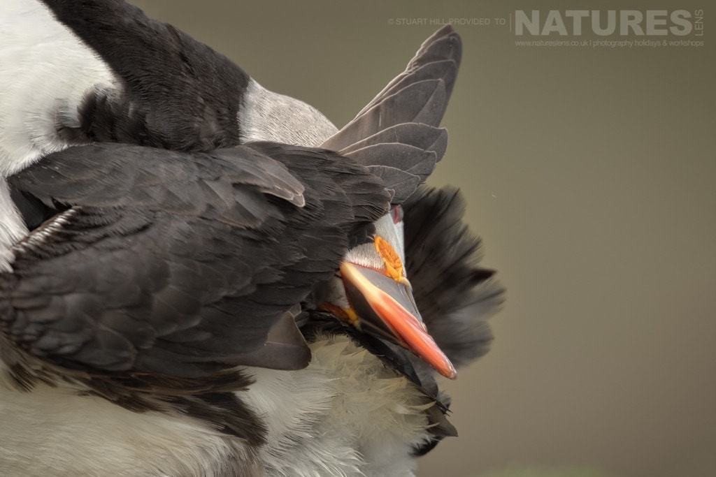 A preening Atlantic Puffin - photographed on the NaturesLens Puffins of Fair Isle Photography Holiday