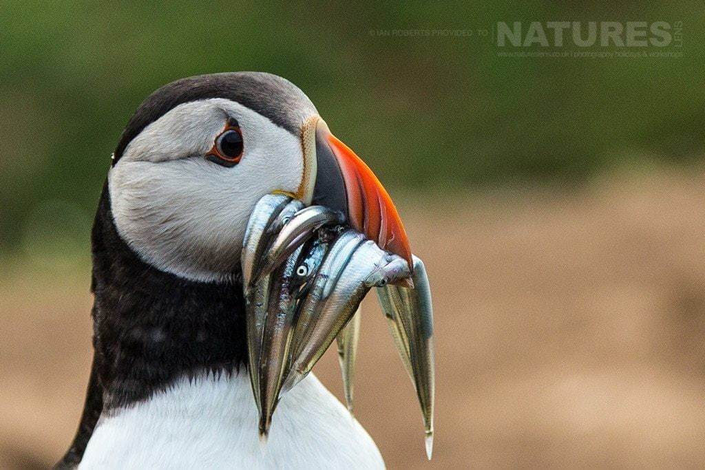 A puffin lands at The WIck with a mouthful of sand eels - photographed during the NaturesLens Skomer's Puffins Photography Holiday