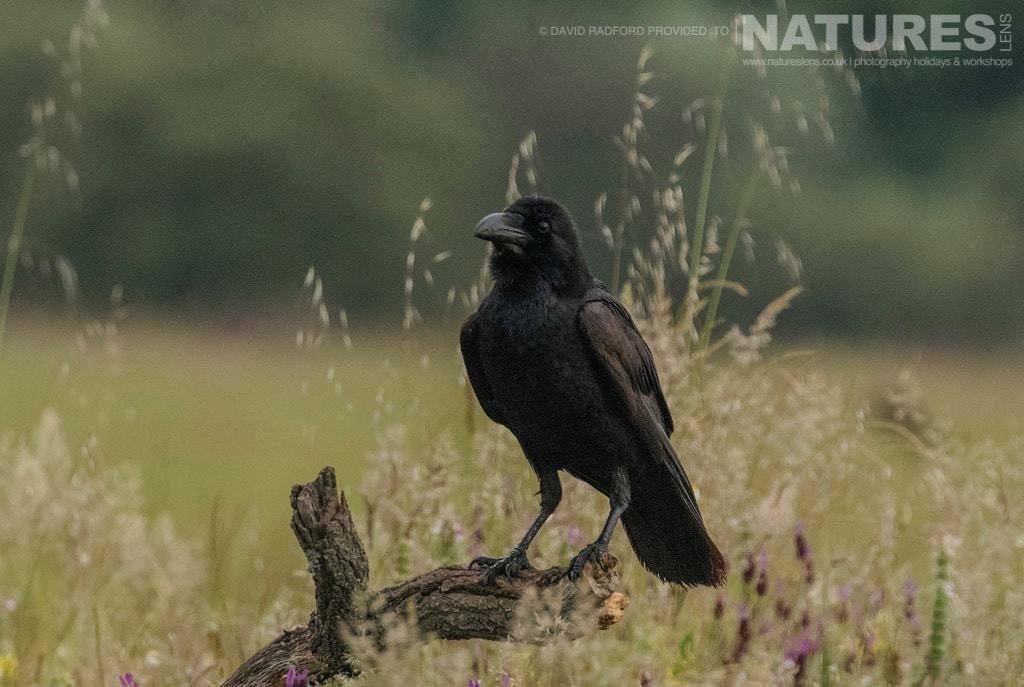 A raven perches amongst the grass & wild flowers of the Spanish plains - photographed on the NaturesLens Birds of the Spanish Plains Photography Holiday