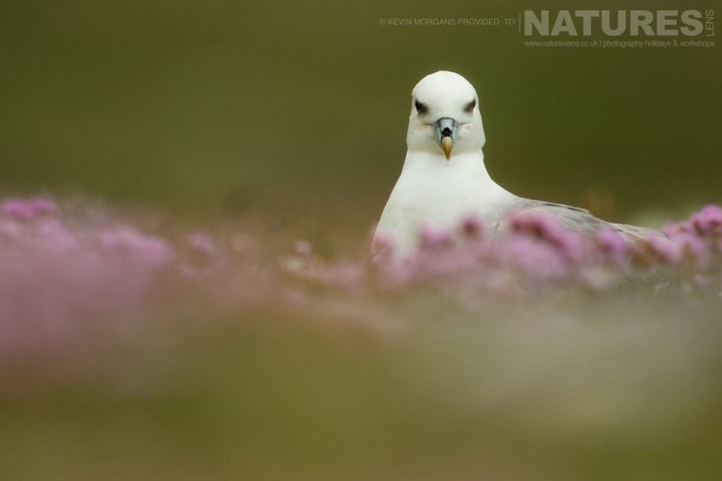 A singular fulmar sitting amongst the thrift in the reserve near Sumburgh Head on Shetland- photographed on the NaturesLens Puffins of Fair Isle Photographic Holiday