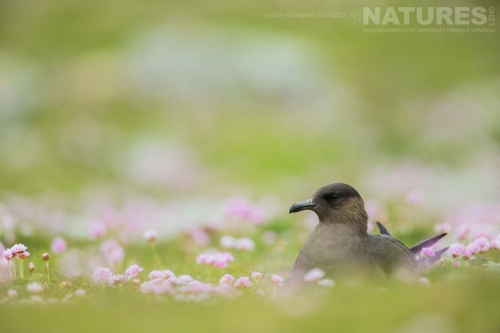 A skua, sitting amongst the thrift, which is found on both Shetland & Fair Isle - photographed on the NaturesLens Puffins of Fair Isle Photographic Holiday