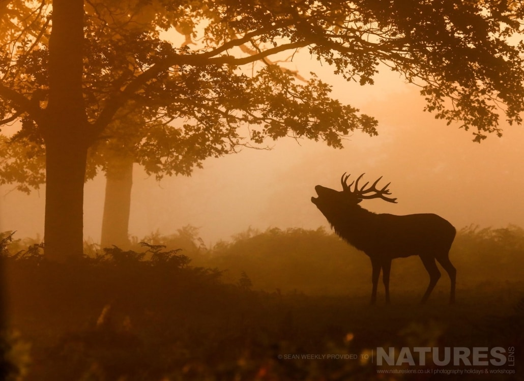A stag bellows in mist illuminated by golden light, an example of the creative red deer & stag imagery achieved by NaturesLens Red Deer in Rut Photography Workshop Leader Sean Weekly