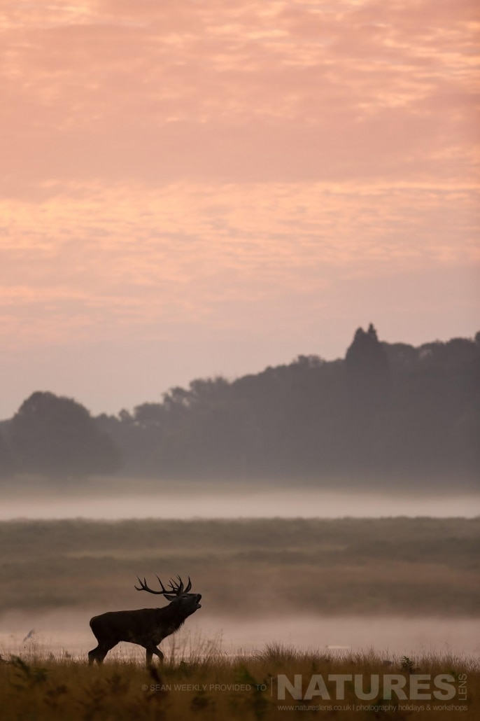 A stag bellows in mist illuminated by the cold morning light, an example of the creative red deer & stag imagery achieved by NaturesLens Red Deer in Rut Photography Workshop Leader Sean Weekly.jpg