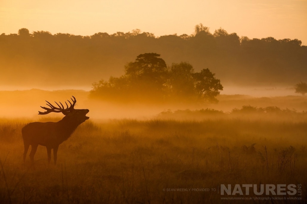 A stag bellows in mist illuminated by the golden light, an example of the creative red deer & stag imagery achieved by NaturesLens Red Deer in Rut Photography Workshop Leader Sean Weekly