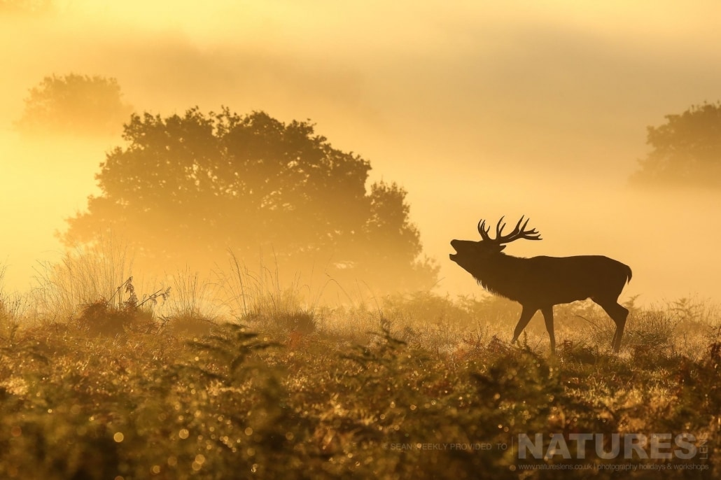 A stag bellows whilst being silhouetted against the morning mist - image is typical of that which may be captured on the NaturesLens Red Deer in Rut Photography Workshop