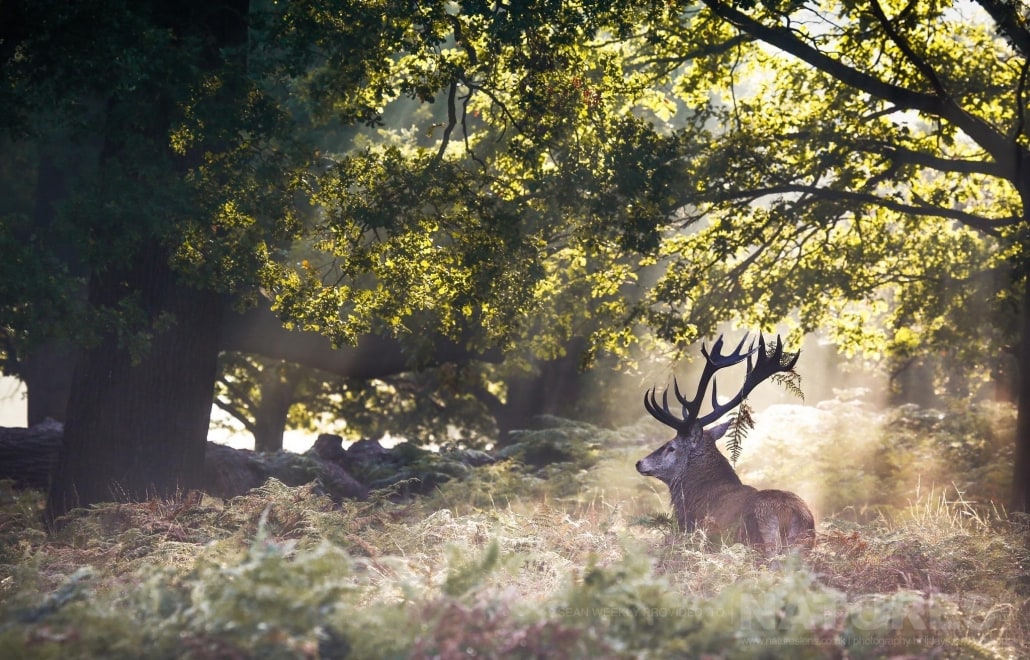 A stag captured in dappled light - image is typical of that which may be captured on the NaturesLens Red Deer in Rut Photography Workshop