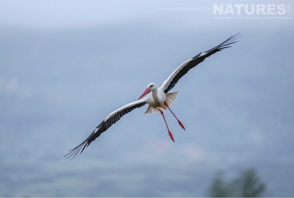 A stork banks as it prepares to land at the carrion hide site - photographed on the NaturesLens Birds of the Spanish Plains Photography Holiday