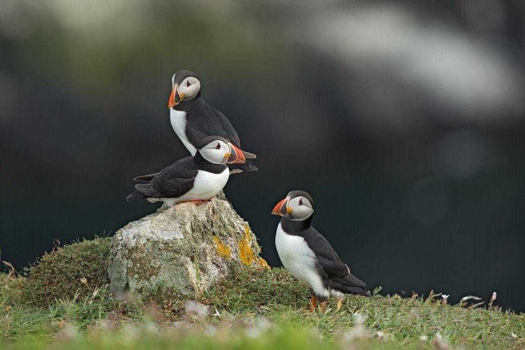 A trio of Skomer's puffins perch on a rock - photographed during the NaturesLens Skomer's Puffins Photography Holiday