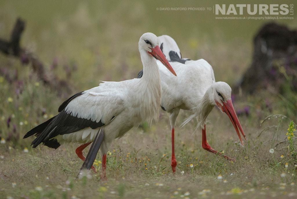 A trio of storks wander the carrion site plucking meat from the ground - photographed on the NaturesLens Birds of the Spanish Plains Photography Holiday