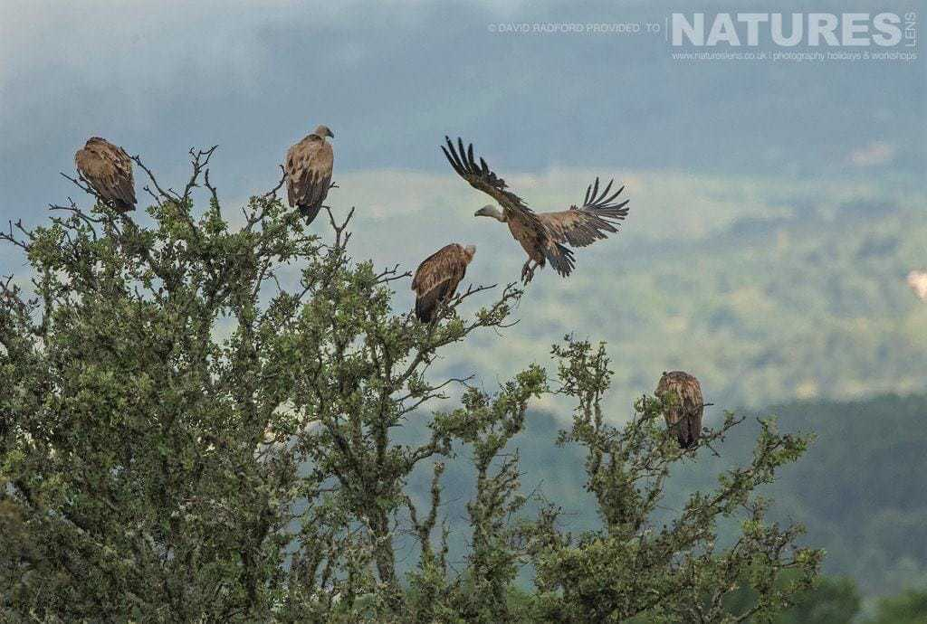 A venue of vultures perched amongst the tress surrounding the carrion site on the Spanish plains - photographed on the NaturesLens Birds of the Spanish Plains Photography Holiday