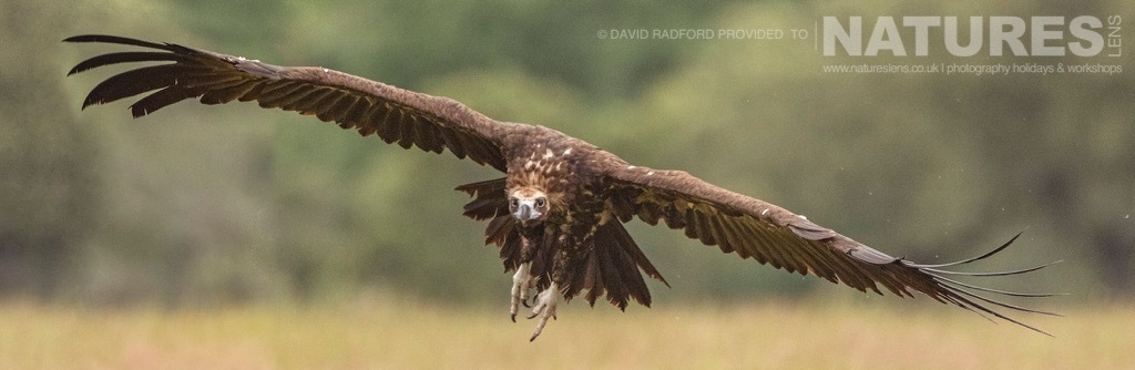 A vulture comes in to land - photographed on the NaturesLens Birds of the Spanish Plains Photography Holiday