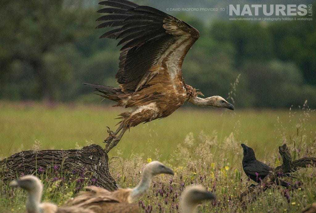 A vulture launches into flight - photographed on the NaturesLens Birds of the Spanish Plains Photography Holiday
