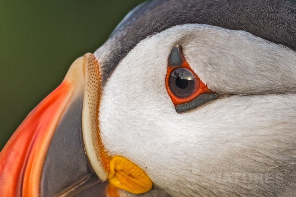 An Atlantic Puffin in extreme close-up - photographed during the NaturesLens Skomer's Puffins Photography Holiday