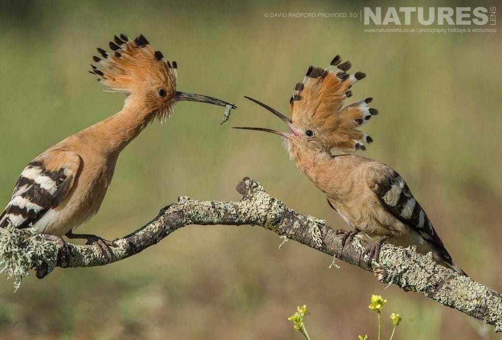 An adult hoopoe gently feeding a caught insect to one of the young from this years clutch - photographed on the NaturesLens Birds of the Spanish Plains Photography Holiday