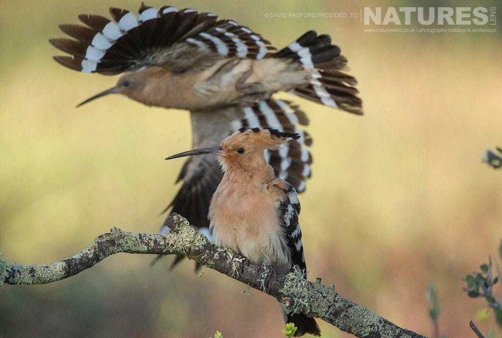 An adult hoopoe takes off and flies past one of the young from this years clutch - photographed on the NaturesLens Birds of the Spanish Plains Photography Holiday