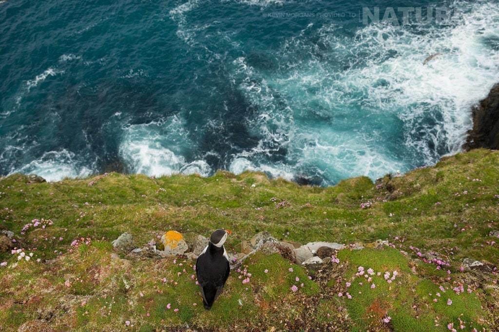 An alternative view - over the edge - photographed on the NaturesLens Puffins of Fair Isle Photographic Holiday