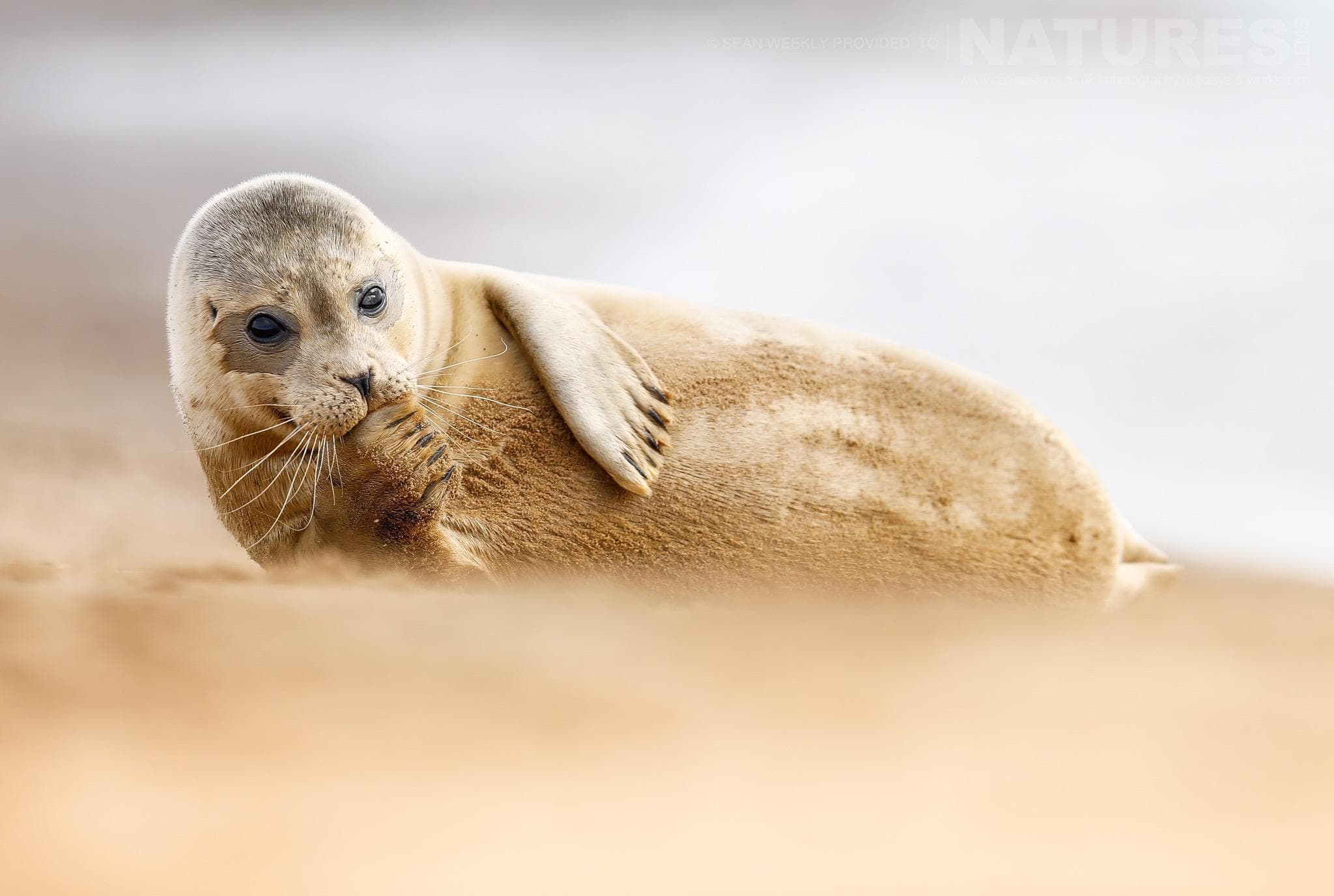 An Atlantic Grey Seal Pup Typical Of The Type Of Image That Participants Of The Natureslens Atlantic Grey Seals Photography Holiday Will Be Able To Capture